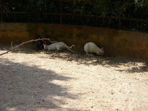 barcelona_zoo_albino_kangaroo