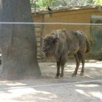 barcelona_zoo_bueffel