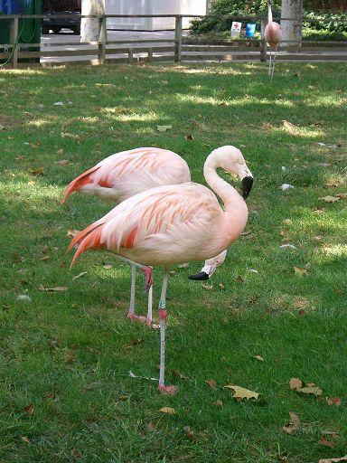 barcelona_zoo_flamingo