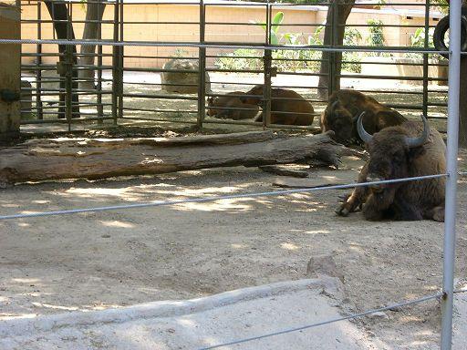 barcelona_zoo_gnus