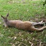 barcelona_zoo_kangaroo