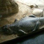 barcelona_zoo_krokodil
