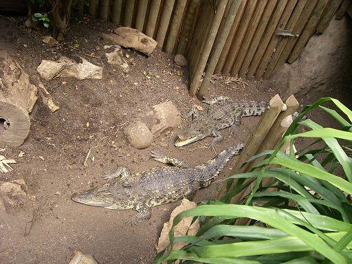 barcelona_zoo_krokodil_gehege