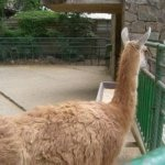 barcelona_zoo_lama