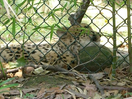 barcelona_zoo_leopard
