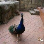 barcelona_zoo_pfau