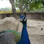 barcelona_zoo_pfau_3