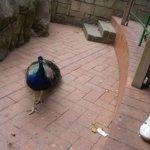 barcelona_zoo_pfau_4